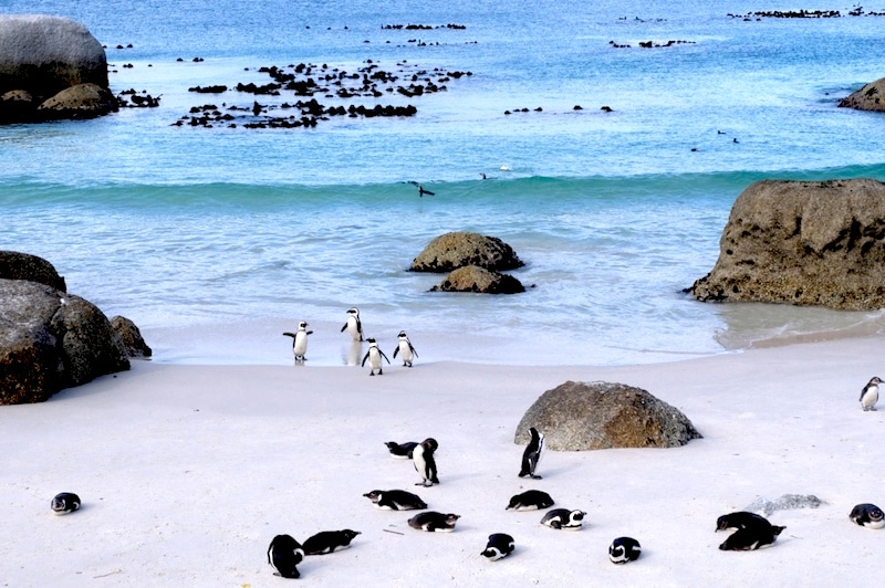 Boulders Beach 2 SUD AFRICA ON THE ROAD